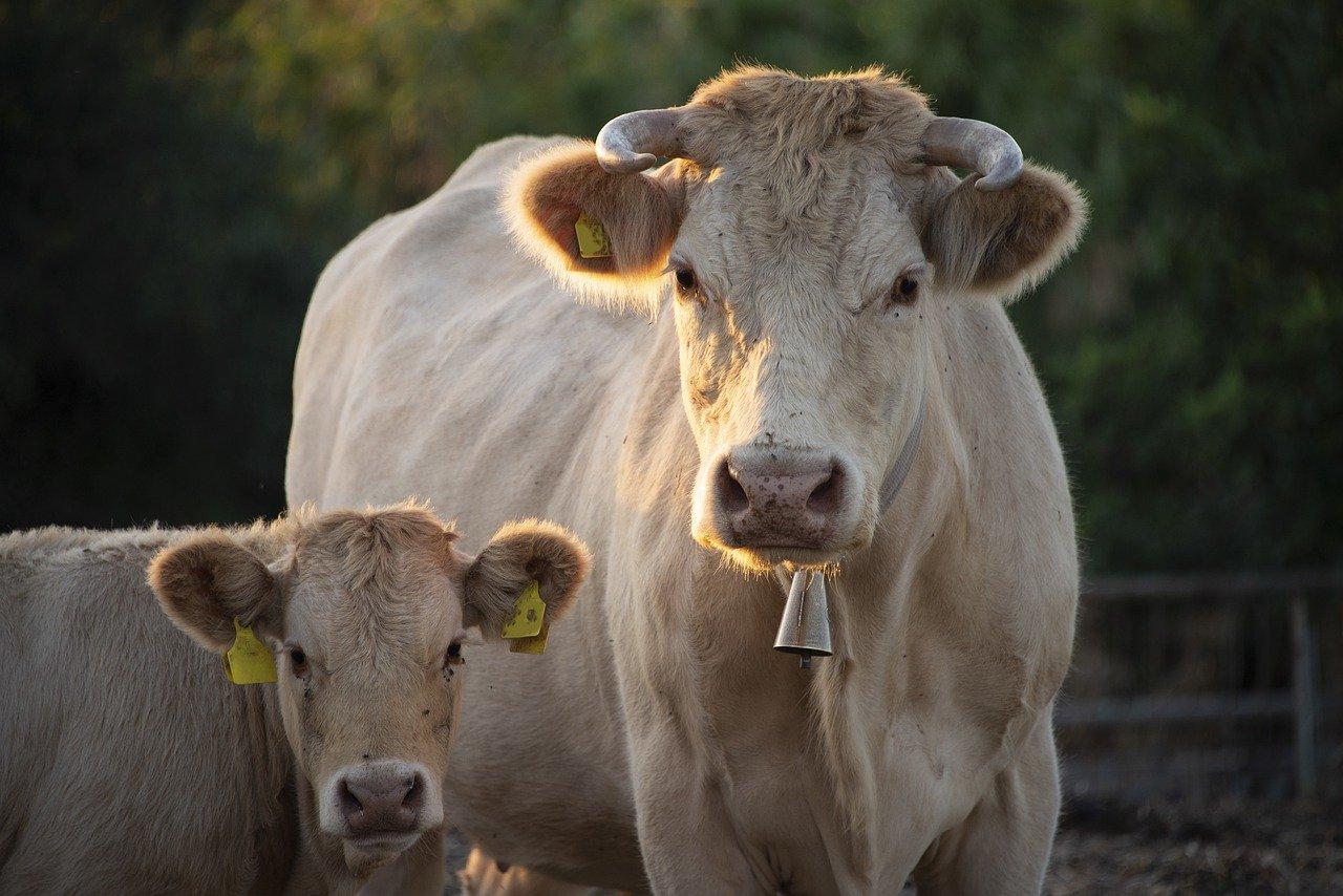 abreuvoir vache chèvre