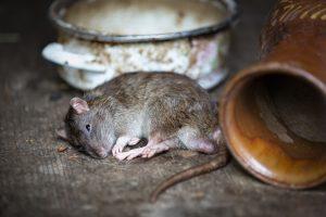 répulsif contre les rats