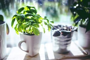 planter-du-basilic